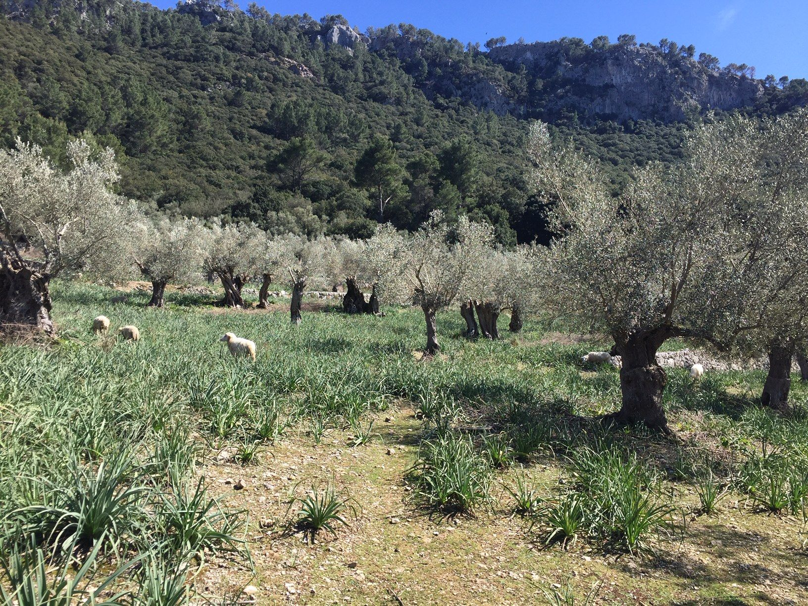 Short walk through olive trees